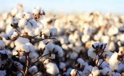 Effective Monday: GST, duty on imported cotton withdrawn