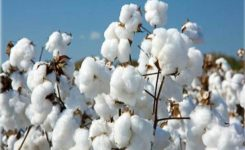 Import of cotton: re-imposition of duty, ST deferred for one month